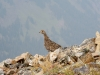 Grouse on summit of P2
