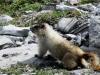 Marmot on guard