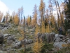 Larch trees on the trail to MacArthur lake