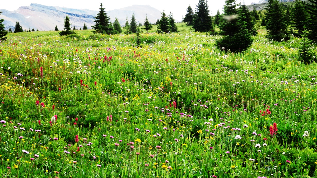 7820-wild-flower-meadow-south-molar-pass