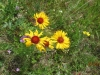 Gaillardia or Brown Eyed Susan