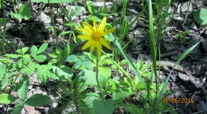 First Arnica of the season